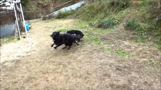 狼犬とバーニーズと甲斐犬がドッグランで遊んでます。 喧嘩じゃないよ(...