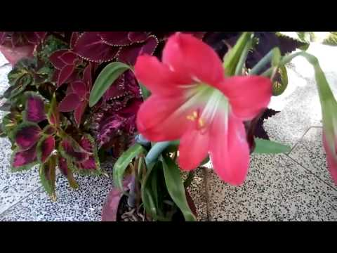 350-How to grow n care Amaryllis Lily /Hurricane Lily /Magic Lily/Resurrection Lily(Hindi