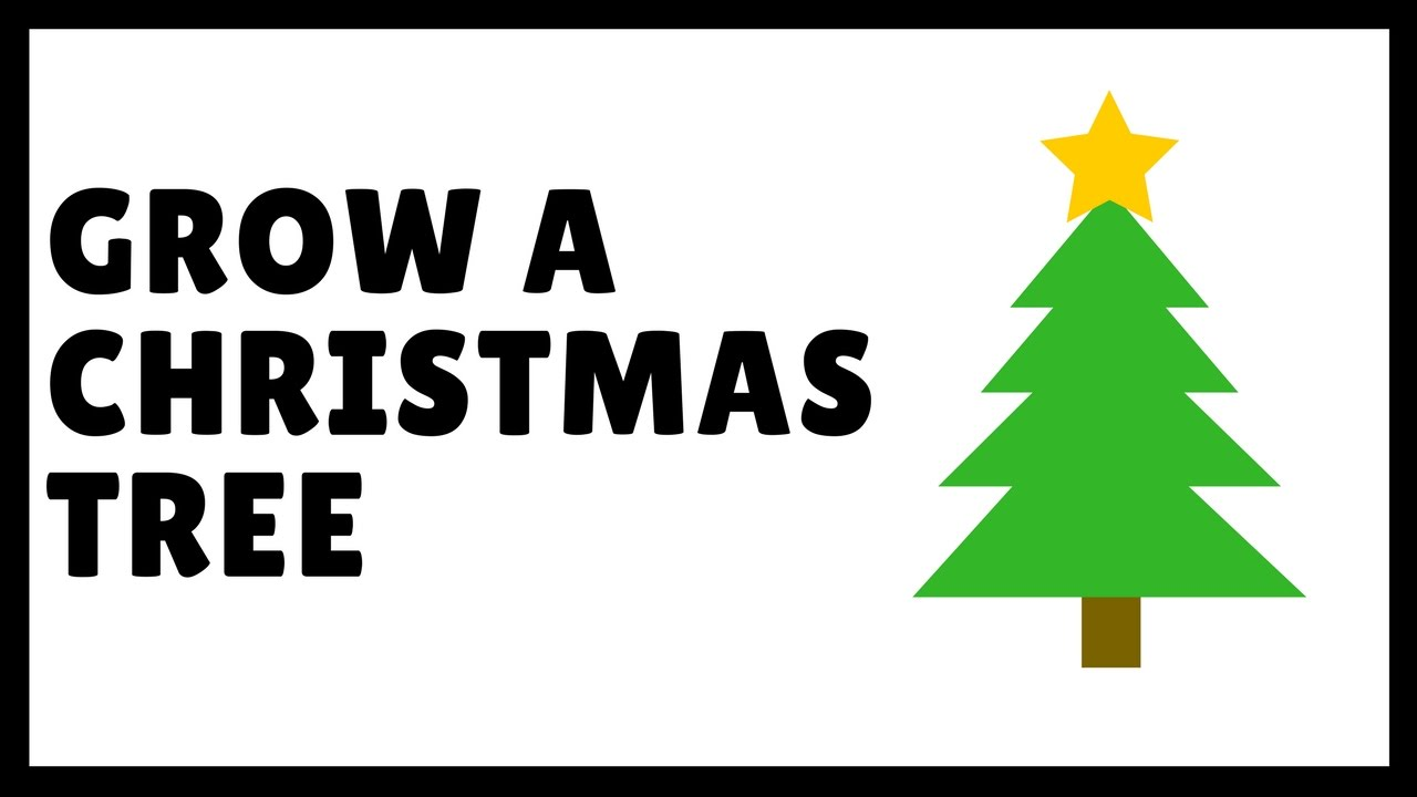 how to grow a christmas tree balsam fir from seed - How Long Does A Christmas Tree Take To Grow