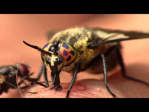 Horse Fly Mouth Up Close