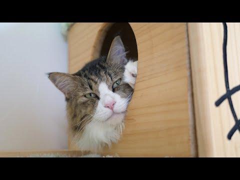姉ちゃんがお留守の間にベッドの寝心地を確かめてみたボス猫
