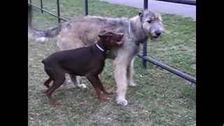Dobermann vs. Irish Wolfhound part 3