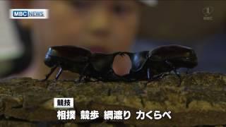 大崎町 カブトムシの相撲大会