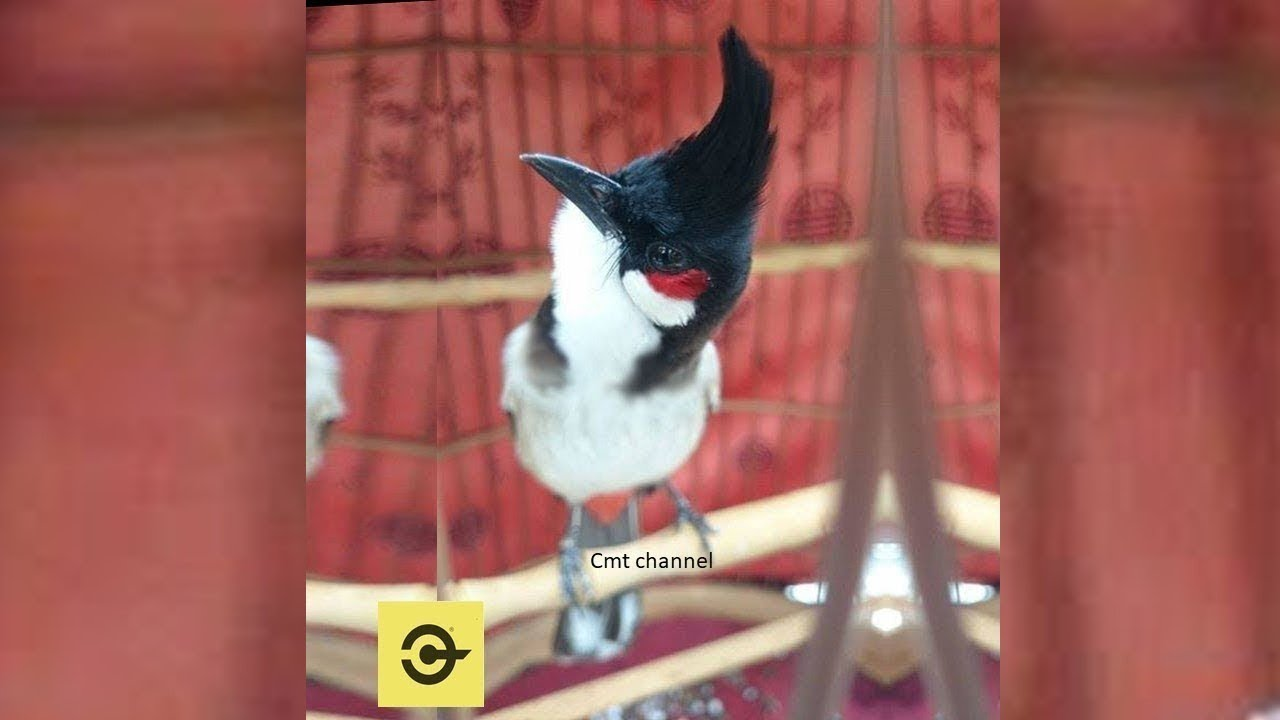 Cách Kích Chào mào Hót nhiều – Bí Quyết chơi chim chào mào