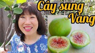 Cây sung vàng ở vườn nhà ( Người Việt ở Mỹ)