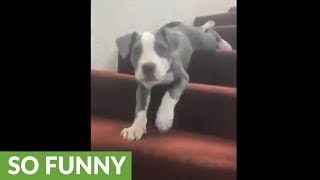 Puppy decides to belly slide down staircase