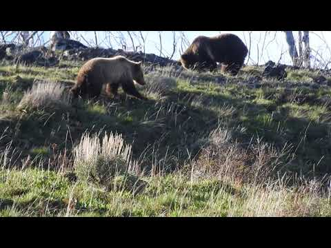 grizzly bears raspberry and snow in yellowstone pt.6