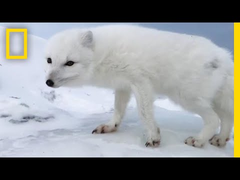 A Friendly Arctic Fox Greets Explorers | National Geographic