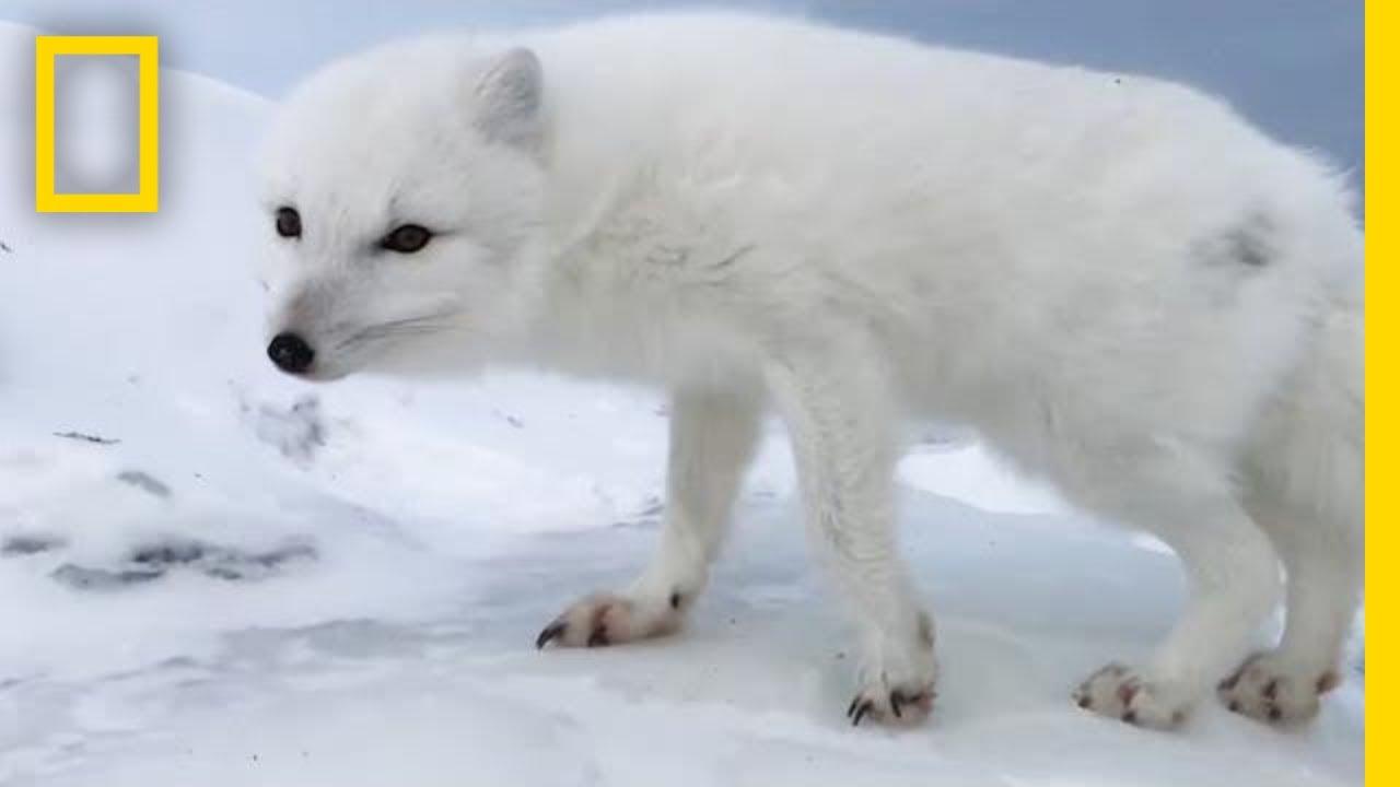 A Friendly Arctic Fox Greets Explorers