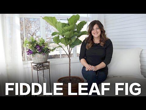 Fiddle Leaf Fig Care Tips // Garden Answer