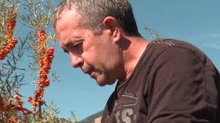 PrioriTerre : l'argousier un fruit des Alpes 30 fois plus riche en vitamine C que l'orange