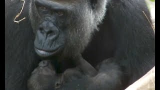 03. Gorilla baby (2 days after birth) at Ueno zoo.ゴリラの赤ちゃん...