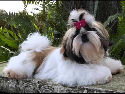 Dog Breed Shih Tzu Picture Collection Ideas | Shih Tzu Dogs