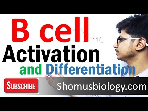 B cell activation and differentiation