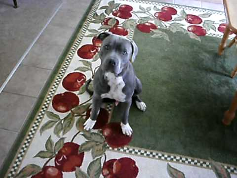 7 month old Purebred Blue Nose Pitbull... very smart