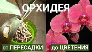 орхидея от пересадки до ДВУХ ЦВЕТУЩИХ ЦВЕТОНОСОВ 9 месяцев по шагово за 14 минут