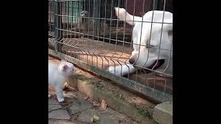 """Царицу не признала? На колени!.. Котенок """"строит"""" собак в питомнике"""