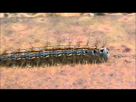 Ringelspinner + birdsong + caterpillar (Malacosoma neustria)