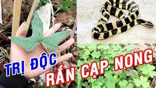 Không ai ngờ cây thuốc chữa Xương Khớp lại là Khắc Tinh của loài rắn cực độc này