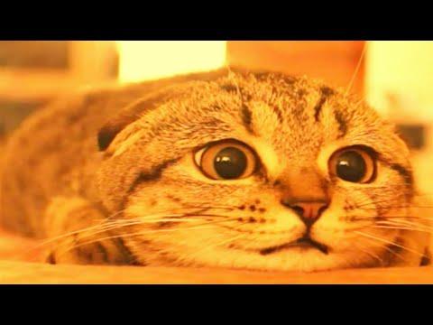 12 Jenis Kucing Paling Mahal Dan Menggemaskan Di Dunia