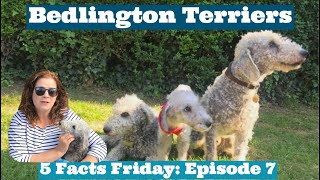 5 FACTS FRIDAY: Bedlington Terriers, Bedlington Fur, Bedlington History
