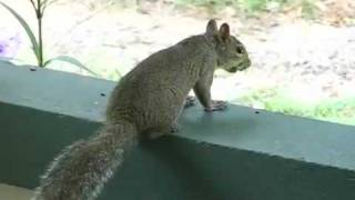 Squirrel Lying Down
