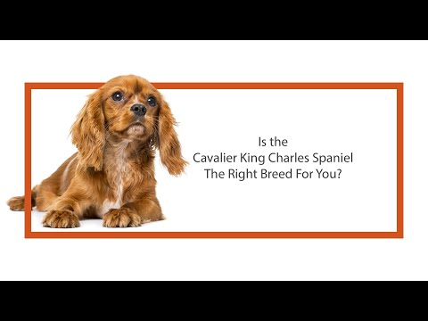 Everything you need to know about Cavalier King Charles Spaniel puppies! (2019)