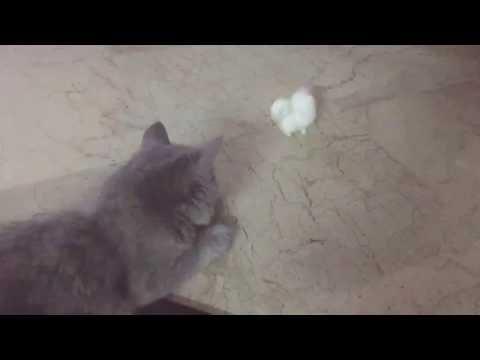 Cute grey Persian cat playing 😃