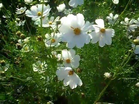 2015.07.26 Белые ромашки в саду на Баме. White daisies in the garden Bam