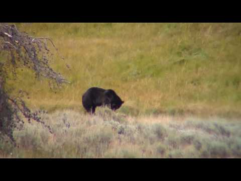 Grizzly Bear on a Kill -Yellowstone