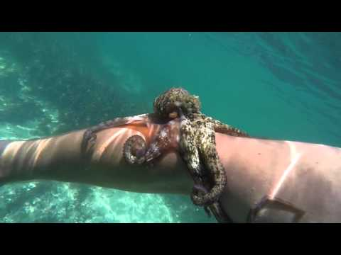 Octopus sucks onto arm and won't let go!