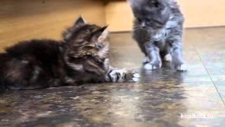 Персидская кошка - породы кошек