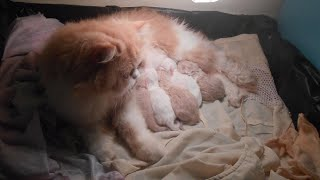 My Cat Giving Birth Five Kittens So Cute | Meo Cover Home