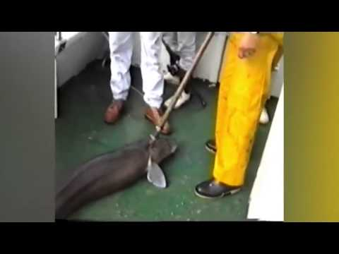 Giant 97lb eel caught by fishermen off the coast of Plymouth