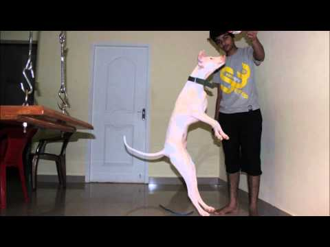 rajapalayam dog from 20 days to 4months