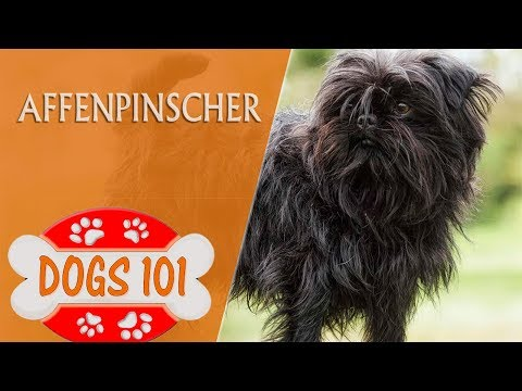 Dogs 101  Affenpinscher  Top Dog Facts About the Affenpinscher