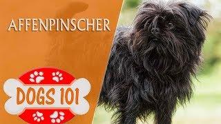 Dogs 101  Affenpinscher  Top Dog Facts About the Affenpinscher