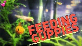 Feeding Guppy Fish