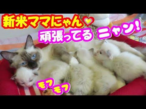 モフモフ子猫たちと新米ママにゃん!!❤My cute Kittens And Funny Kitten Videos.