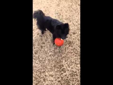 Swedish Lapphund Pepper at play