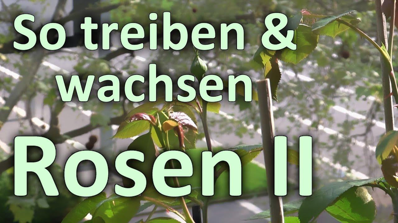 So Treiben Wachsen Rosen Ii Fruhling 2013 In Balkon Kubeln