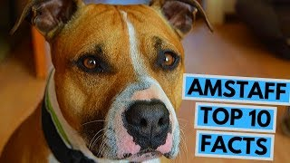 American Staffordshire Terrier  TOP 10 Interesting Facts