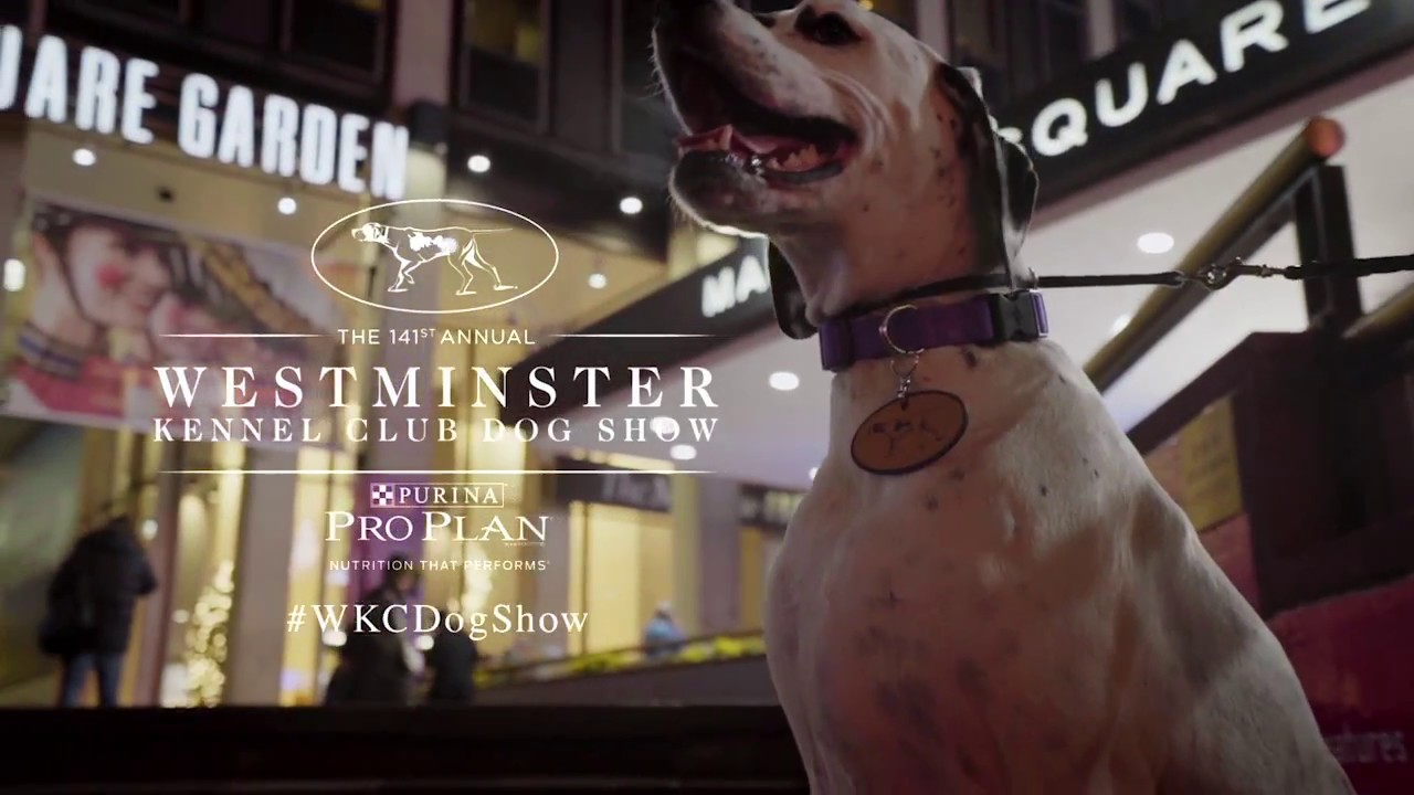 R T Pointer Norwich Westminster Dog Show: ...