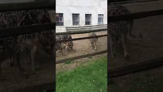 Farma strusi afrykańskich w Garczynie