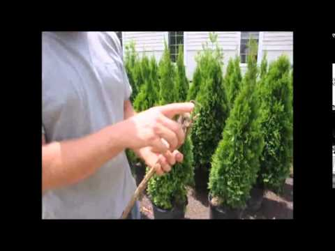 Winterberry Holly Planting Tips for beginners