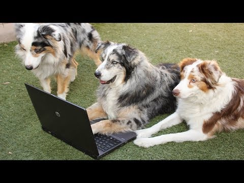 Best Trained & Disciplined Australian Shepherds