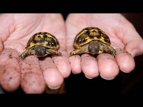 Ternura total: nacieron dos mini tortugas del tamaño de una moneda