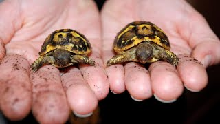 Separating Tortoise Twins