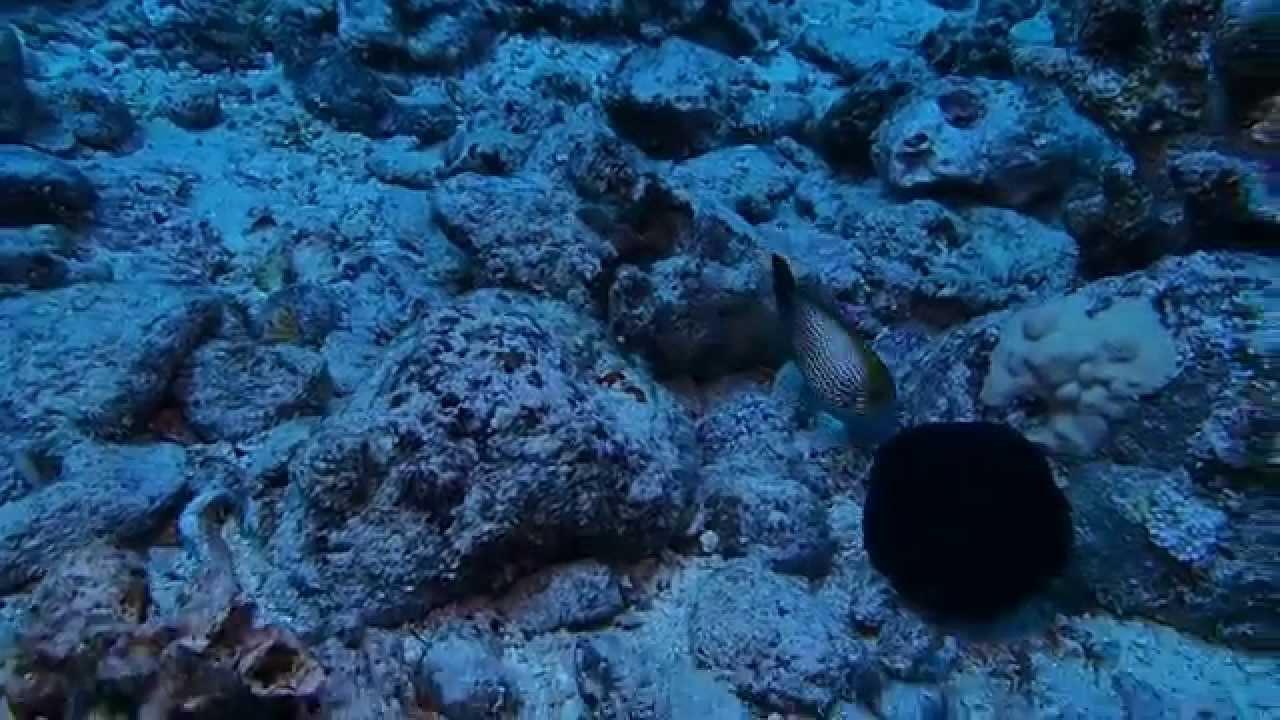 2015/6/8 ダイビング ハワイ・オアフ島 HAWAIIAN FANTAIL FILEFISH - YouTube