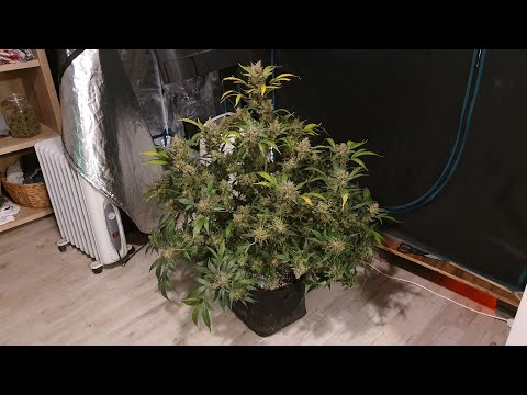 HUGE Zkittlez Auto Harvest, Day 89. Part 1